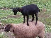tách biệt chiên ra khỏi dê